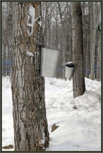 Maple_tree_tapping1