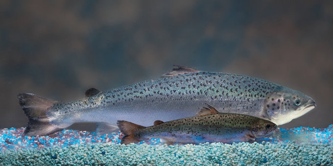gmo_vs_natural salmon